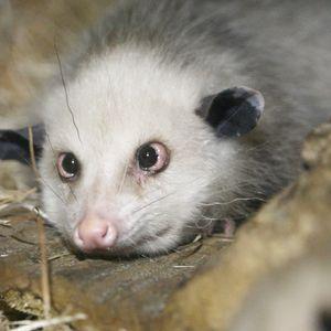 Heidi das schielende Opossum
