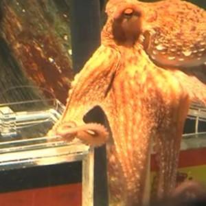 Kraken-Orakel Paul