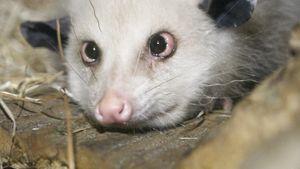 Heidi, das schielende Opossum ist tot