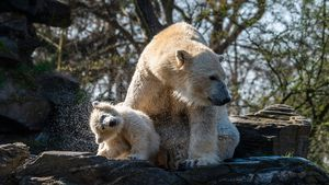 Zu spät entdeckt: Eltern von Eisbär Hertha sind Geschwister
