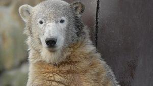 Eisbär Knut wird immer noch kühl gelagert