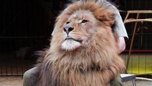 Star-Löwe Kasanga aus dem Circus Krone ist verstorben!