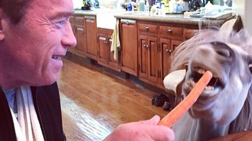 Frühstück bei Arnie: Geht mit ihm der Gaul durch?