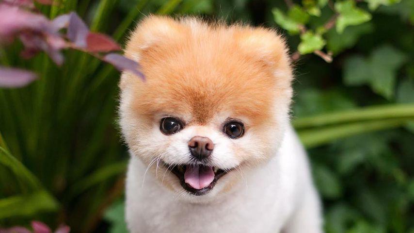 Verstorbener Pomeranian Boo: Seine süßesten Momente