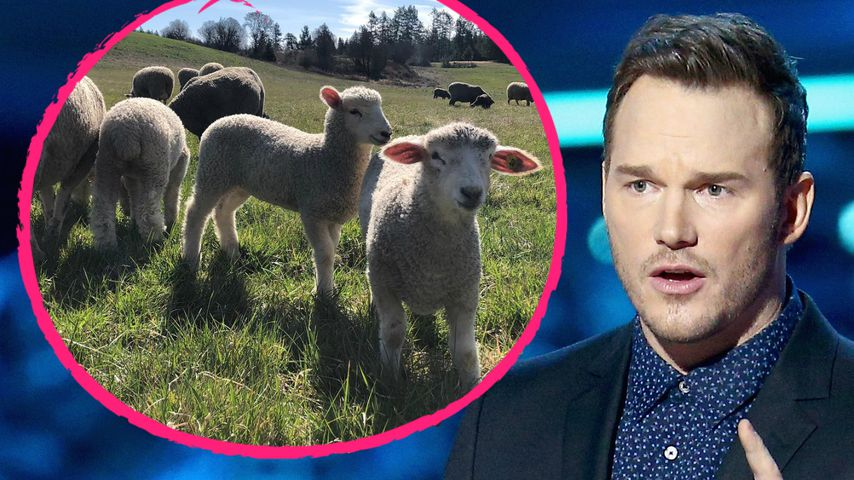Kein Farmer: Schaf-Herde überfordert Action-Star Chris Pratt