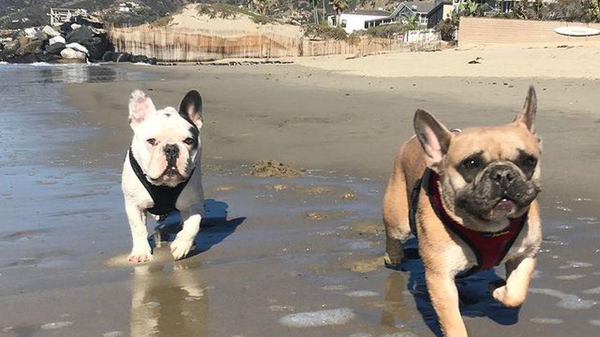 Gustave und Koji, Hunde von Lady Gaga