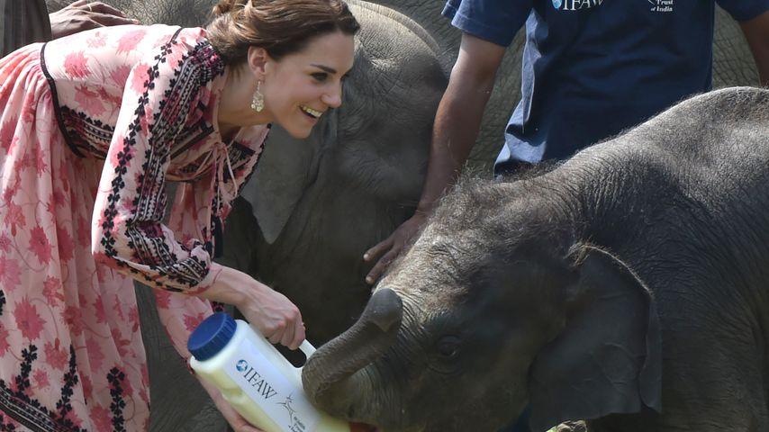 Elefantastisch! Herzogin Kate beweist sich als Tierpflegerin