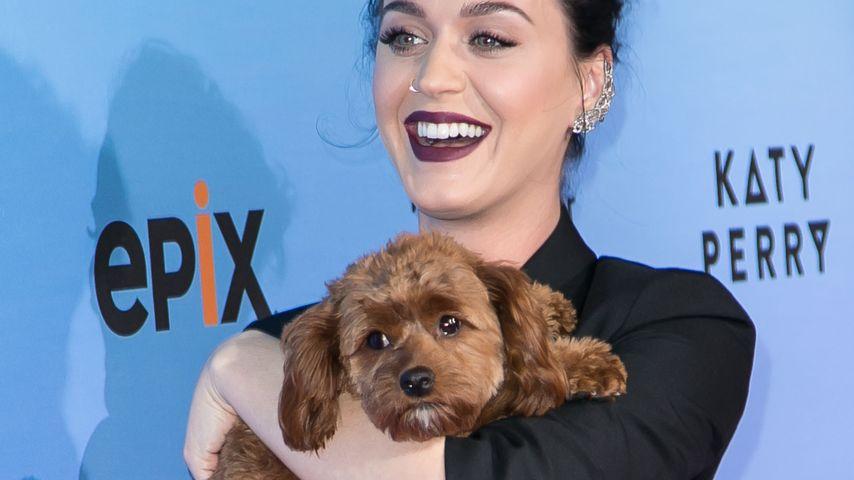 Tierisch süß! Hündchen Butters stiehlt Katy Perry die Show