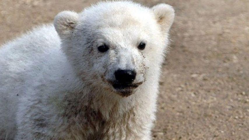 Knut kurz nach seiner Geburt 2006