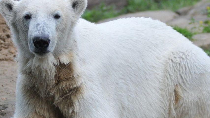 Knut kurz vor seinem Tod im März 2011