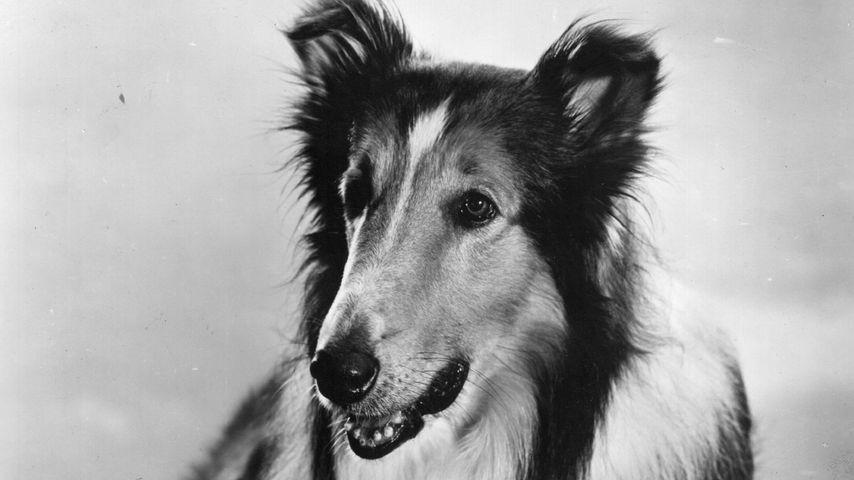 Lassie, Flipper & Co.: So starben die Tiere der Kultfilme