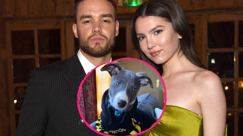 Süß: Liam Payne schenkte seiner Verlobten Maya einen Hund