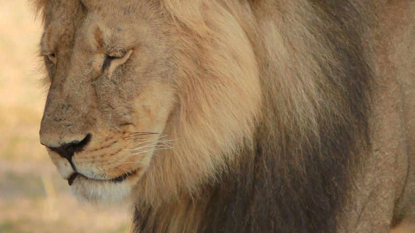 Cecil-Mörder: Zahnarzt entschuldigt sich nur bei Patienten!