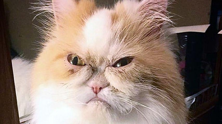 Auch total grimmig: Ist diese Katze die nächste Grumpy Cat?