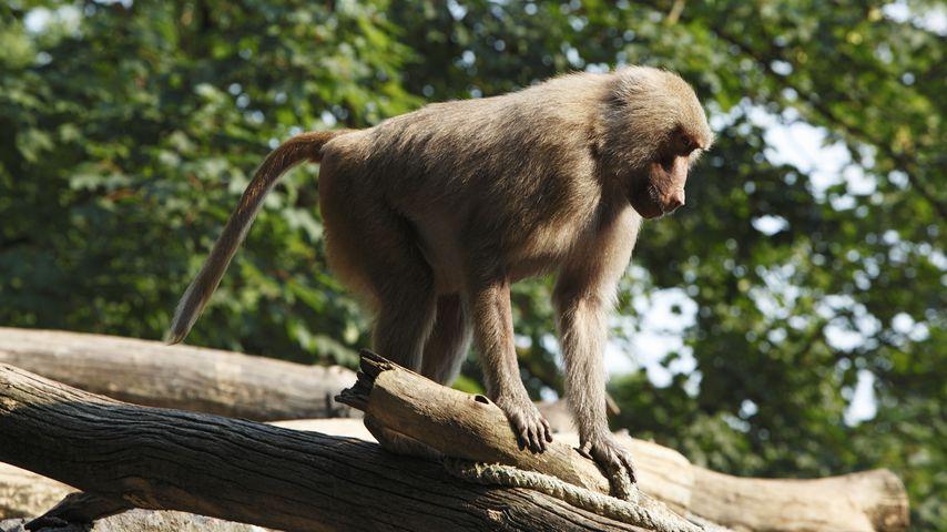 Nach Brand im Krefelder Zoo: Neues Affenhaus wird gebaut!