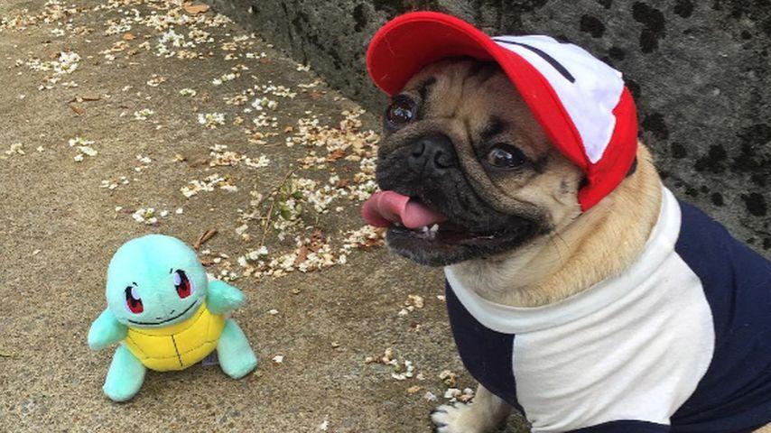 """Alle lieben """"Doug The Pug"""": Der kleine Mops erobert das Netz"""