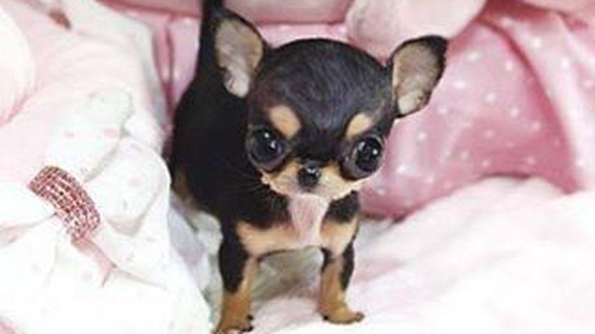 Wie niedlich: Das ist Paris Hiltons neuester Hundezuwachs