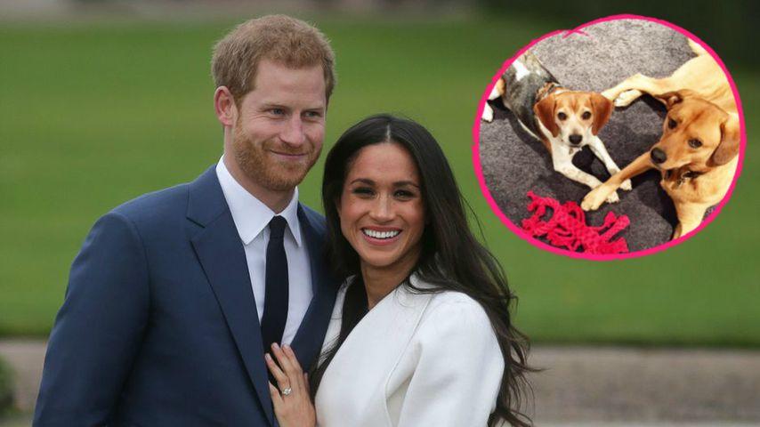 Traurig! Meghan Markle ließ ihren Hund für Harry zurück