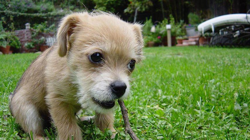 Zach Braffs Hund Roscoe