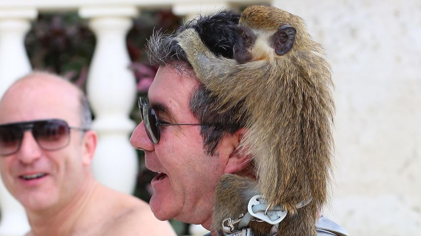 Haariger Überfall! Affen-Attacke auf Simon Cowell