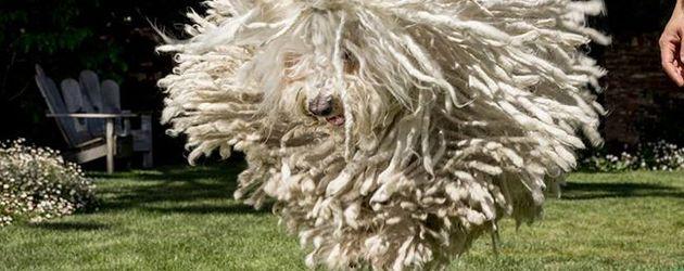Beast Zuckerberg, der Hund von Mark Zuckerberg